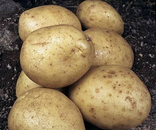 Картофель джелли: характеристика и описание сорта, фото, отзывы