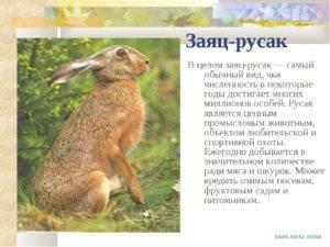 Основные характеристики зайца, описание внешнего вида