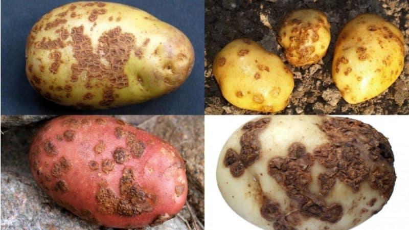 Болезни картофеля: описание с фотографиями и способы лечения, заболевания клубней и ботвы, причины, как определить дефекты, черная ножка или потемнение внутри