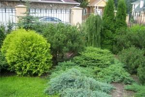 Самые красивые хвойные: 9 деревьев и кустарников для сада