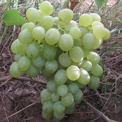 Виноград белое чудо: описание сорта, отзывы о полезных свойствах