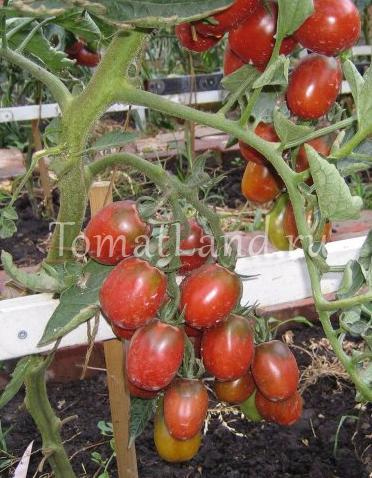 Томаты «черный мавр»: описание сорта, характеристика плодов, секреты выращивания, отзывы садоводов
