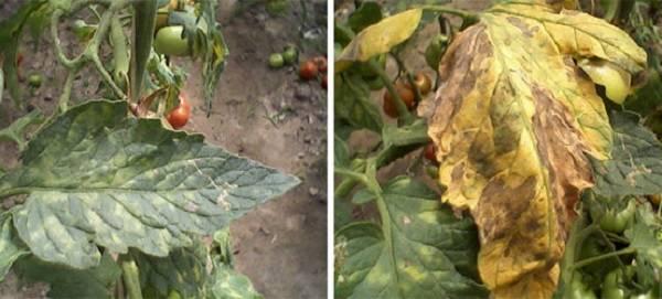 Советы специалистов по обработке рассады томатов от болезней