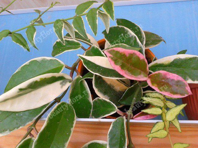 Популярные разновидности хойи для истинных поклонников экзотичных комнатных растений