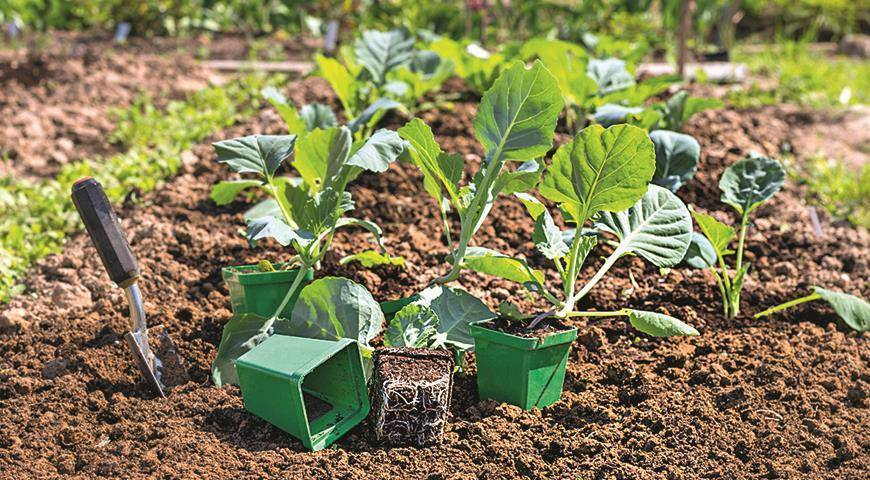 Когда сеять раннюю капусту: лучшие сроки посадки на рассаду и в открытый грунт