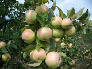 Яблоня чудное: описание сорта, фото, отзывы, морозостойкость, размеры взрослого дерева