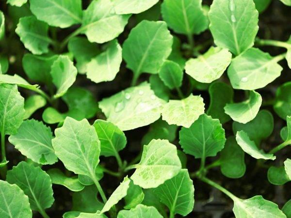 Какую температуру выдерживает капуста весной и осенью в открытом грунте