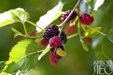 Шелковица: выращивание и уход в средней полосе, специфика посадки и зимовки