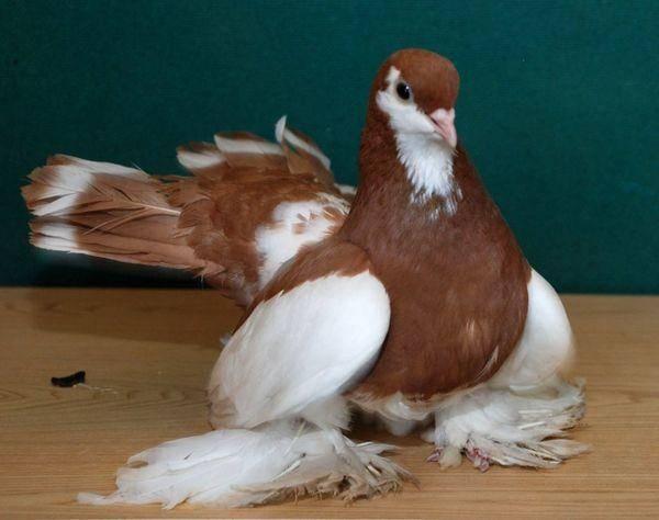 Обзор статных голубей, их описание, видео и фото обзор статных голубей, их описание, видео и фото