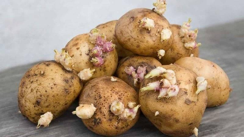 Можно ли есть картошку если она проросла