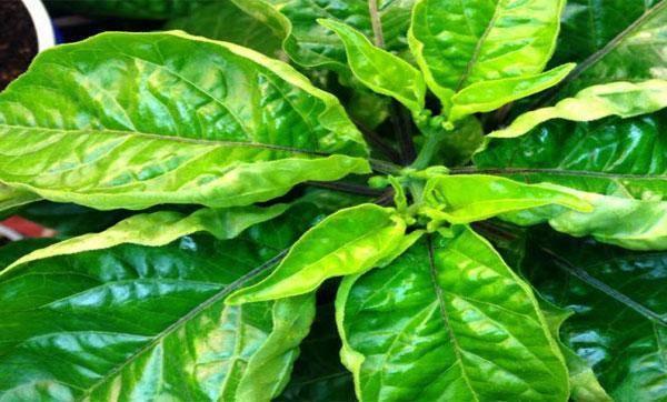 Почему у перцев скручиваются листья: что делать, народные рецепты, химические средства, фото