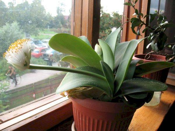 Гемантус фото, уход в домашних условиях, описание комнатного растения, размножение гемантуса