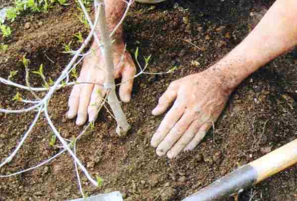 Как посадить правильно яблоню весной: инструкция, видео и фото