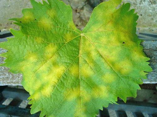 Белый налет на ягодах винограда: чем обработать, что делать и как лечить, причины