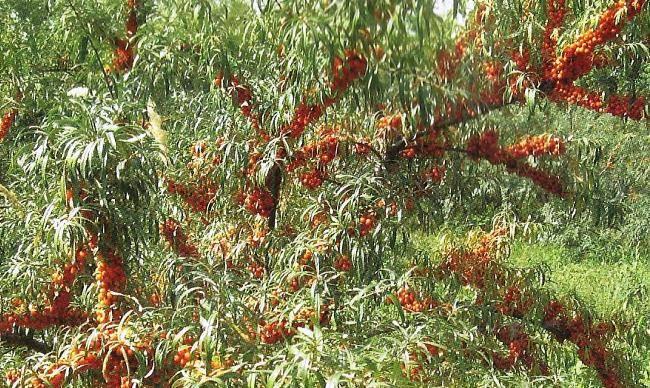 Облепиха сорта: особенности выбора и правила посадки облепихового дерева (95 фото)