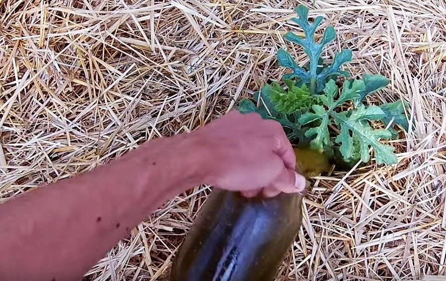Выбираем лучшие удобрения для арбузов в открытом грунте