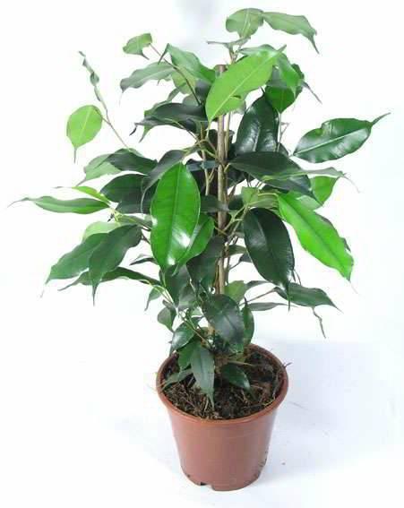 Фикус бенджамина или альфреда (ficus benjamina). уход, размножение, формирование.   floplants. о комнатных растениях