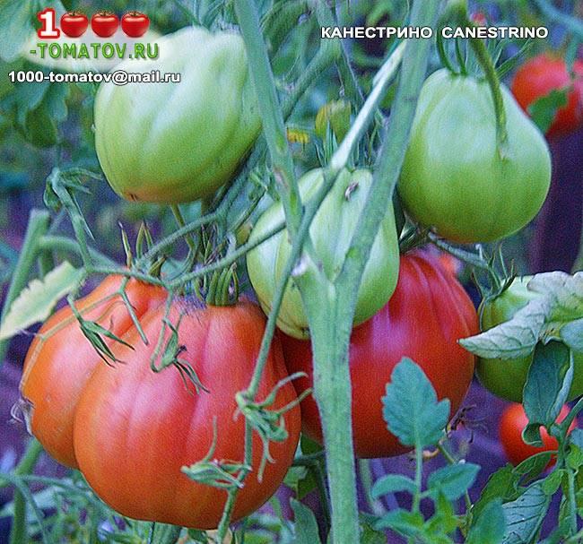 Правильная внекорневая подкормка томатов - советы от лигногумат | москва