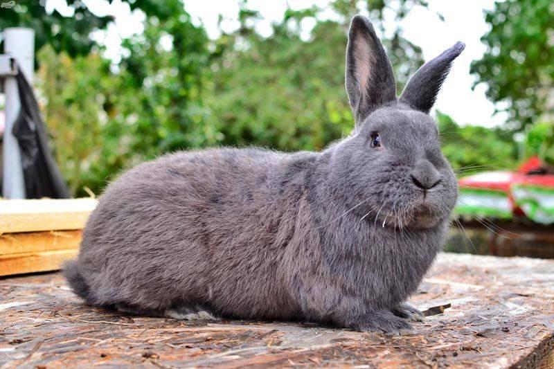 Венские голубые кролики: характеристики и особенности содержания породы