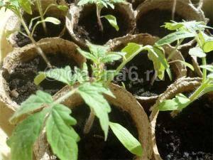 Рассада помидор падает и вянет у корня, что делать?