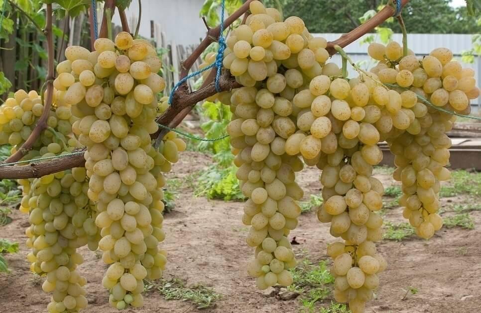 Характеристика сорта винограда феномен - мыдачники