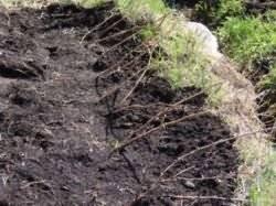 Красная смородина: выращивание, виды и сорта