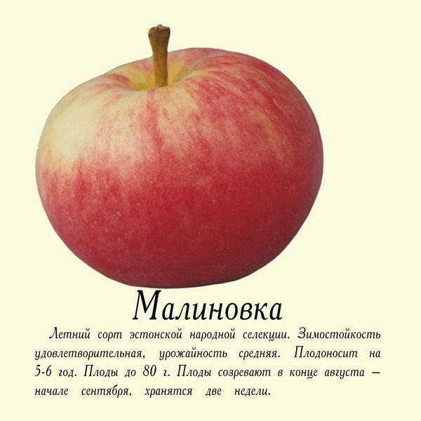 """Яблоня малиновка - описание сорта, фото, отзывы - журнал """"совхозик"""""""