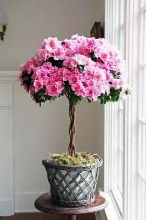 Азалия уход в домашних условиях - размножение черенками, правильный полив и стимуляция цветения