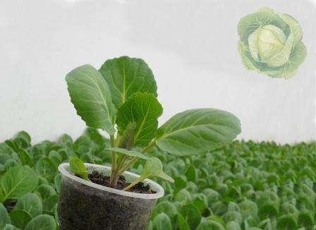 Можно ли выращивать капусту без пикировки и для чего она нужна