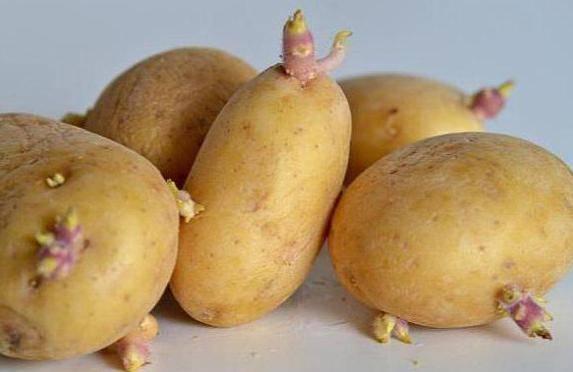 Картофель «ласунок» — описание сорта, отзывы, выращивание и уход