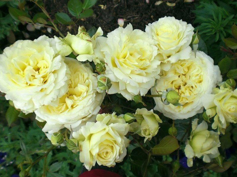 Сорта роз: описание и советы по выбору