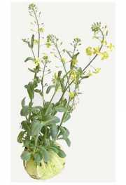 Капуста кейл (русская капуста) - что это такое, как выглядит, фото, описание, сорта листовой капусты кейл