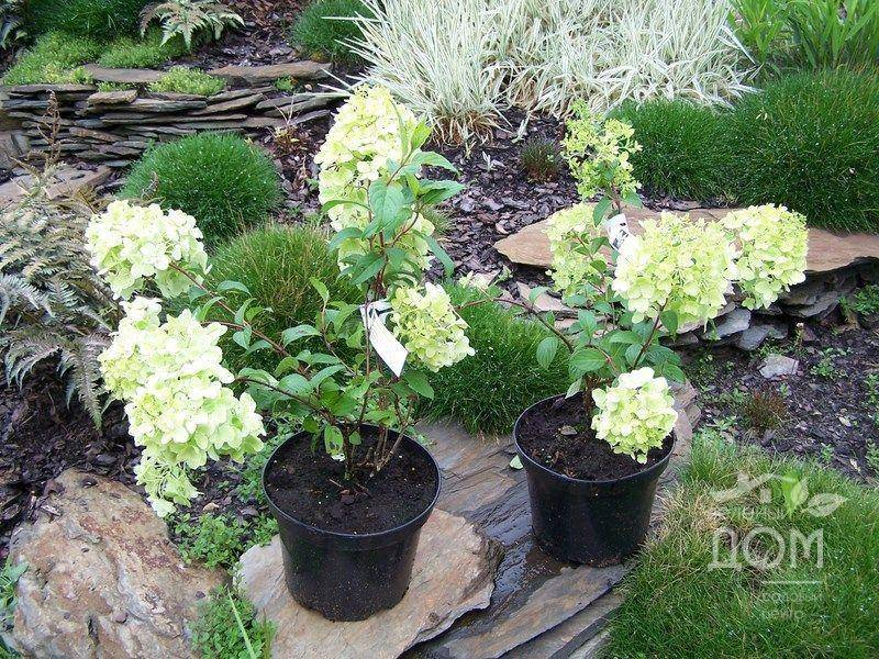 Гортензия метельчатая посадка, уход и фото, размножение и выращивание сорта, удобрения и подкормка