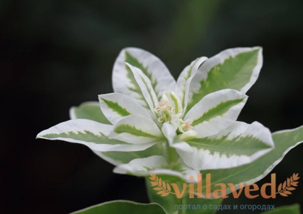 Выращивание молочая, популярные сорта и виды с фото