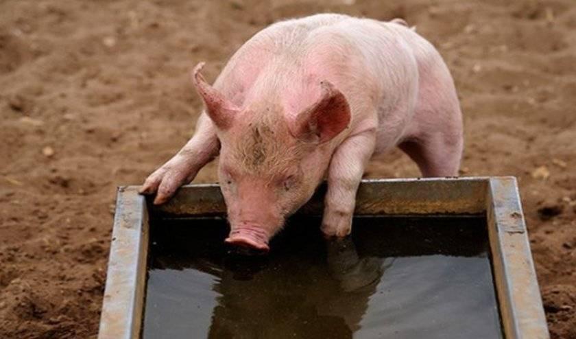 Поилки для свиней: какие бывают и варианты изготовления своими руками