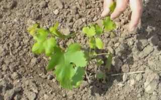 Описание сорта винограда кишмиш запорожский