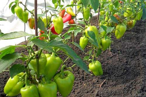 Как выращивать болгарский перец в теплице в открытом грунте дома