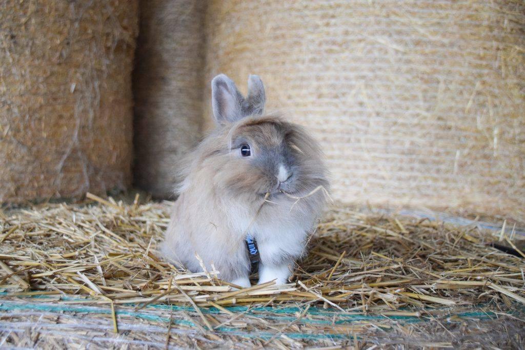 Можно ли давать кроликам лебеду и как правильно это делать?