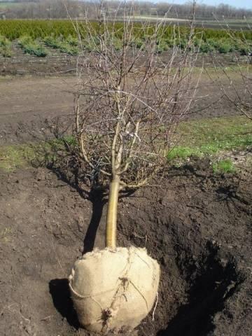 Как успешно пересадить яблоню весной: пошаговая инструкция