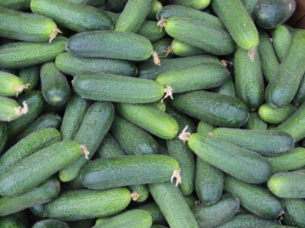 Огурец маринда: описание, отзывы, фото, посадка и уход, характеристика сорта, урожайность