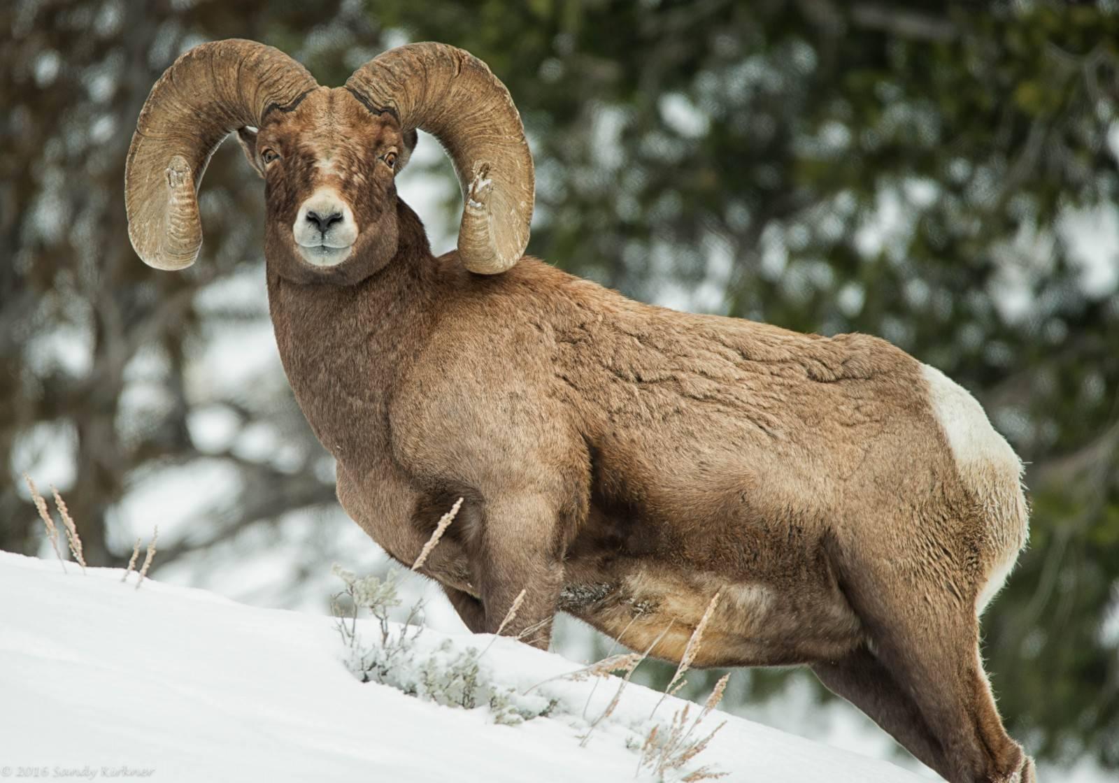 Внешний вид и особенности жизни снежного барана