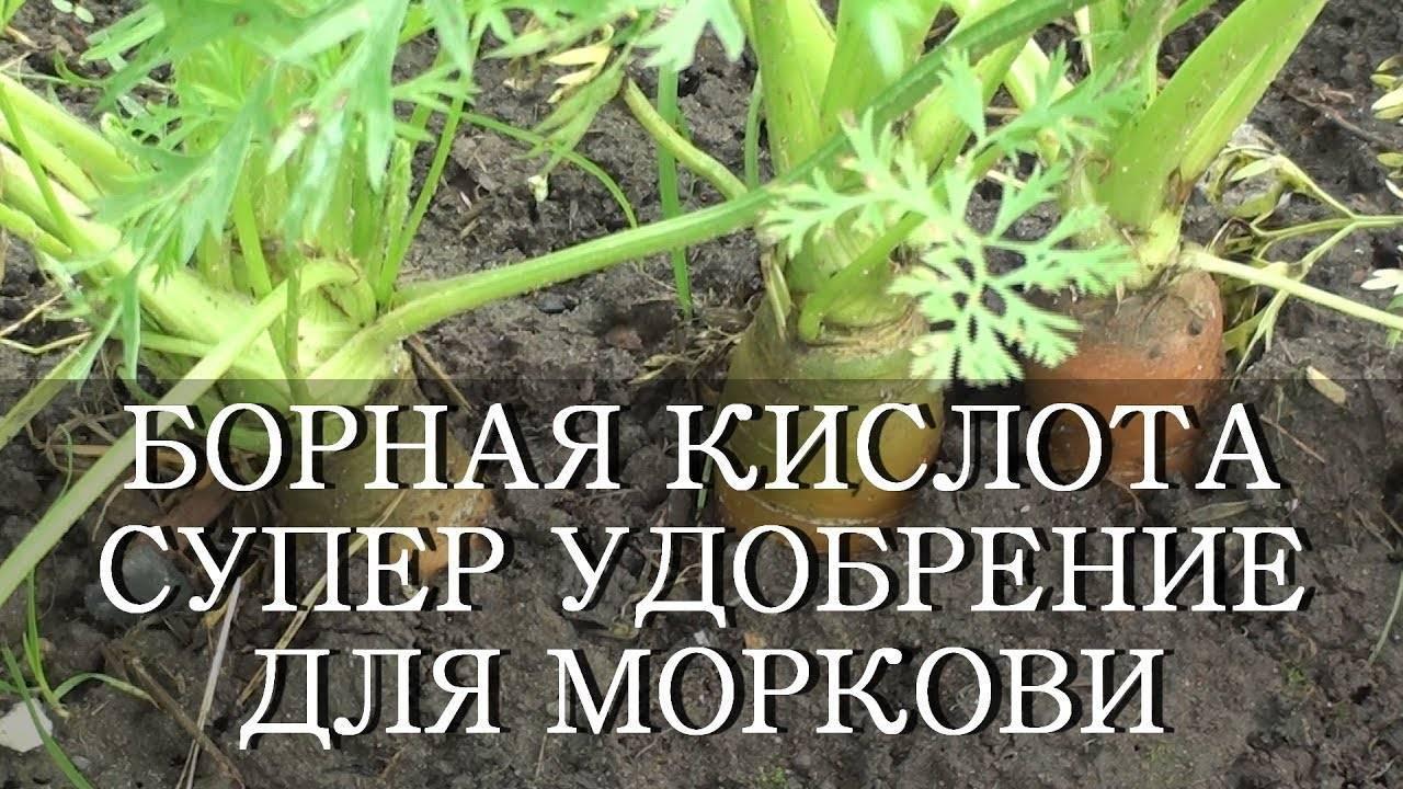Чем подкормить морковь после всходов: когда и как удобрять корнеплод, можно ли в начале периода роста, в стадии первых листиков и что делать, если плохо взошел? русский фермер