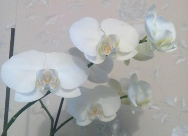 Белые орхидеи: фото и описание интересных сортов, в том числе фаленопсисов, а также особенности выращивания белоснежных цветов в горшках