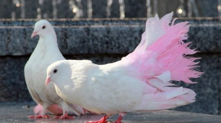 Разведение голубей в домашних условиях для начинающих. как набраться опыта