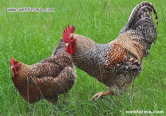 Царскосельская порода кур фото и описание, отзывы
