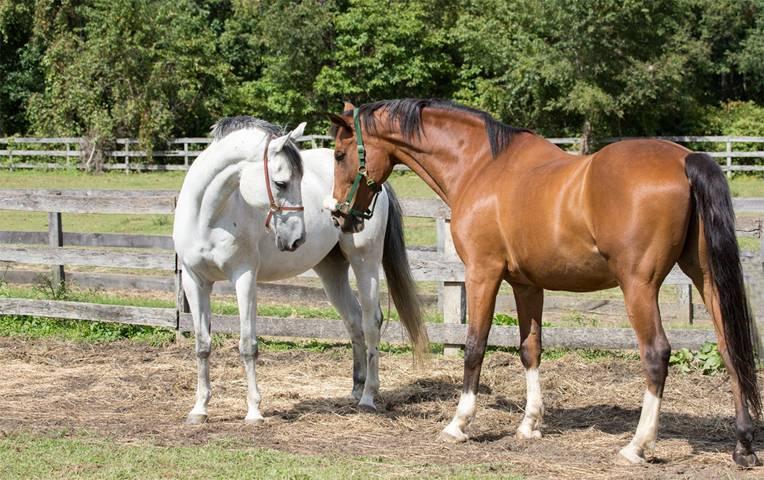 Подробное описание спаривания лошадей, подготовка к процессу, советы по соблюдению необходимых условий