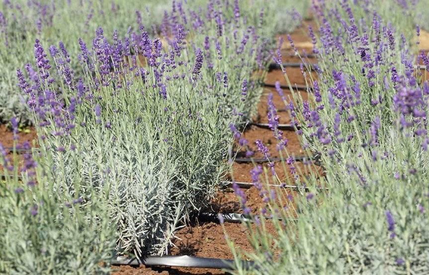 Различные сорта лаванды: способы посадки и уход за растение в открытом грунте
