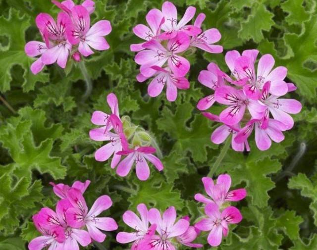 Пеларгония анита (anita)