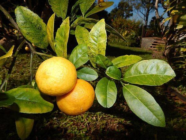 Гибрид мандарина и грейпфрута: как называется и почему, танжело или медовые колокольчики