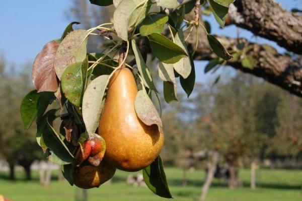 На каком расстоянии сажать груши друг от друга, от яблони и других культур для опыления